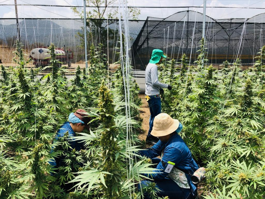 From Coffee To Cannabis: Colombia's Choice Between Economic